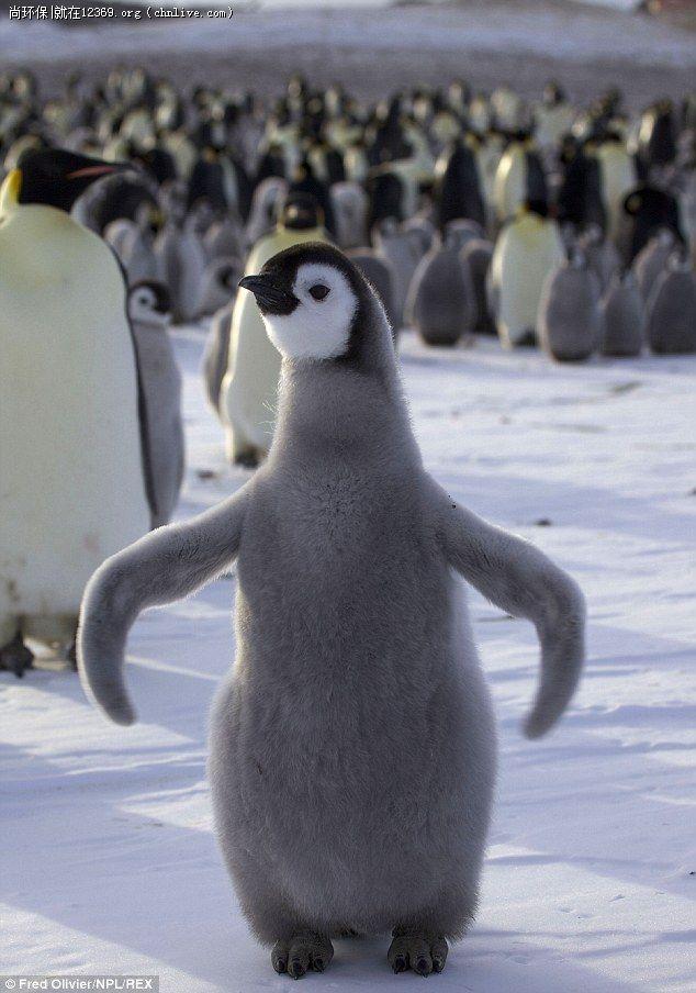 据《每日邮报》,这些暖心的照片显示了帝企鹅们把幼崽包围挤在一起取暖。成年的帝企鹅围在四周防止寒风直接吹到幼崽身上。  据《每日邮报》,这些暖心的照片显示了帝企鹅们把幼崽包围挤在一起取暖。成年的帝企鹅围在四周防止寒风直接吹到幼崽身上。  据《每日邮报》,这些暖心的照片显示了帝企鹅们把幼崽包围挤在一起取暖。成年的帝企鹅围在四周防止寒风直接吹到幼崽身上。  小帝企鹅身上的浅灰白色绒羽可御寒防风,但不防水,防水的陵羽要等到它们快成年时才会长出,慢慢替换身上的绒羽,身体下方的绒羽会先掉。  据《每日邮报》,这些暖